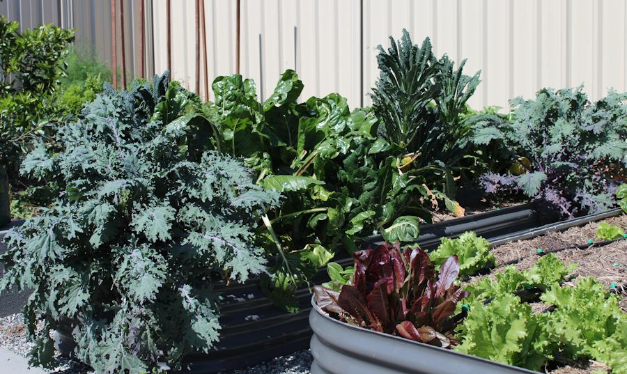 Vegetables Flurishing with CarbonFix Soil Energizer